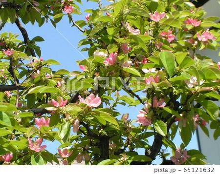 桃色の可愛い花はカリンの花 65121632