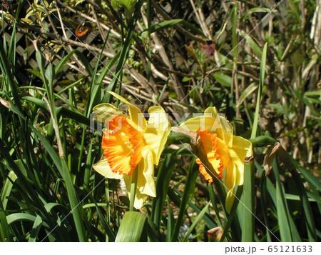 1月から咲き始めるスイセンの黄色い花 65121633