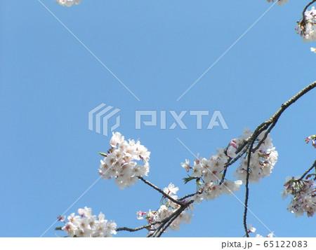 もう直ぐ葉桜になるオオシマザクラの白い花 65122083