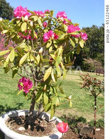大きい鉢植えの石楠花の赤い花 65122466
