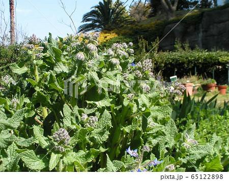 青い星型の花はボリジの花 65122898