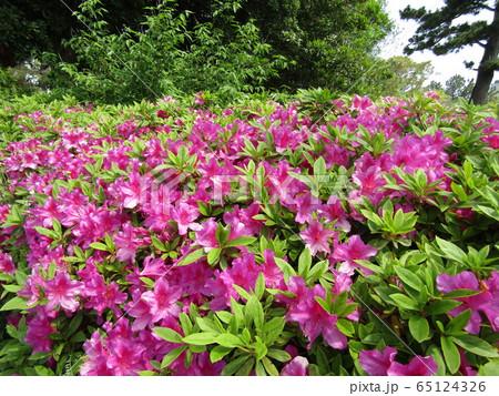 五月に咲くのはサツキの赤色の花 65124326