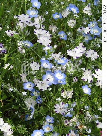 こどもの笑顔のようなネモフィラの青い花と花びらに模様の入った白いネモフィラ  65125372