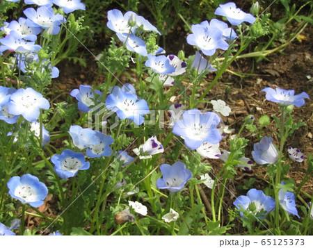 こどもの笑顔のようなネモフィラの青い花 65125373