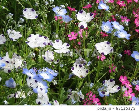 こどもの笑顔のようなネモフィラの青い花と花びらに模様の入った白いネモフィラ  65125375