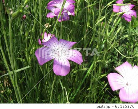 ムギナデシコの紫から白色のグラデーションの綺麗な花 65125376