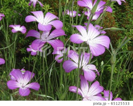 ムギナデシコの紫から白色のグラデーションの綺麗な花 65125533