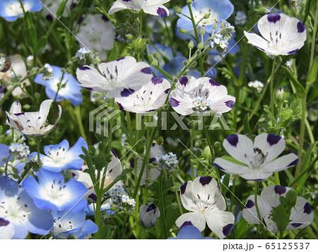 こどもの笑顔のようなネモフィラの青い花と花びらに模様の入った白いネモフィラ  65125537