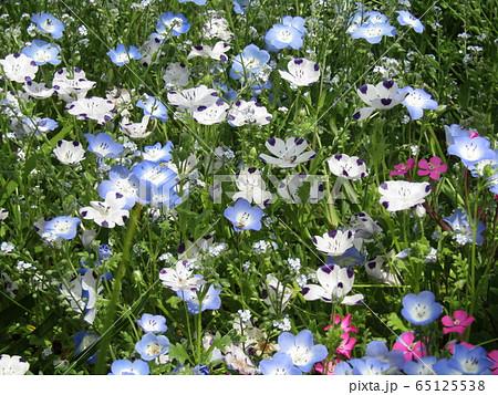 こどもの笑顔のようなネモフィラの青い花と花びらに模様の入った白いネモフィラ  65125538