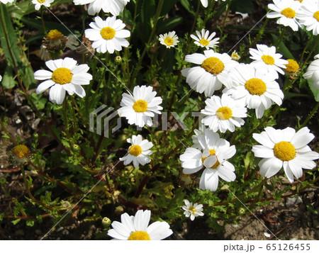 ノースポールの白い花 65126455