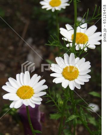 ノースポールの白い花 65126458