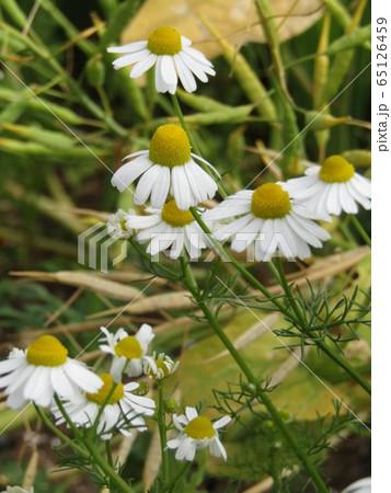 その香り休息の香り安らぎの花カモミール 65126459