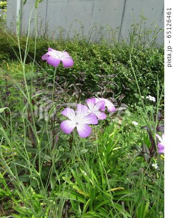 ムギナデシコの紫から白色のグラデーションの綺麗な花 65126461