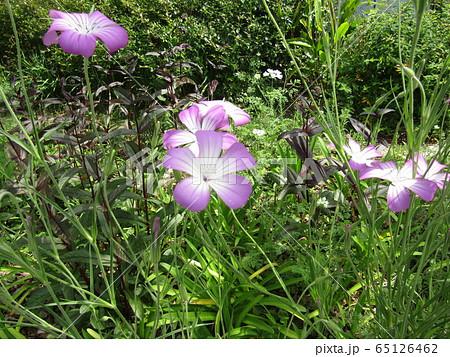 ムギナデシコの紫から白色のグラデーションの綺麗な花 65126462