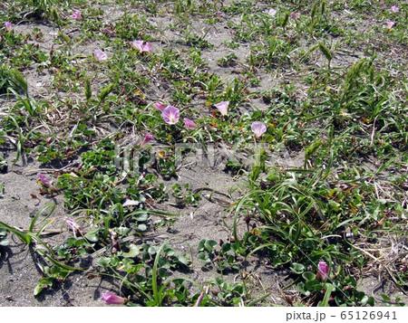 咲き始めた検見川浜のハマヒルガオ 65126941