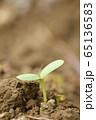 ヒマワリの新芽 65136583