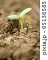 ヒマワリの新芽 65136585