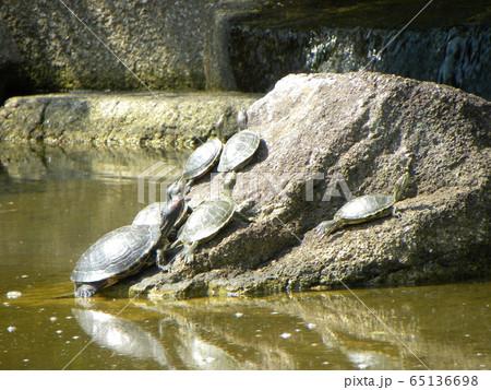 稲毛海浜公園の池に沢山の亀 65136698