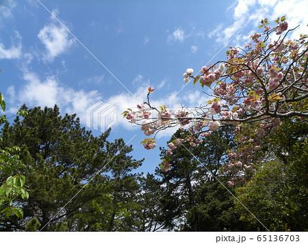 八重の桜は遅咲きのサクラ 65136703