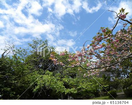 八重の桜は遅咲きのサクラ 65136704