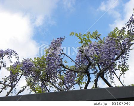 もう直ぐ満開の紫色のフジの花 65137046
