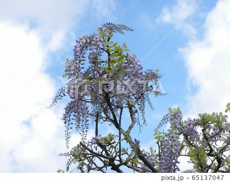 もう直ぐ満開の紫色のフジの花 65137047