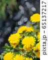 たんぽぽ 65137217