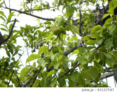 我が家の梅ノ木の梅の実 65137587