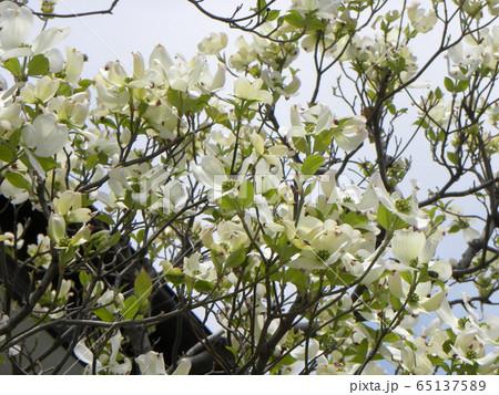 この白い花はミズキの花 65137589