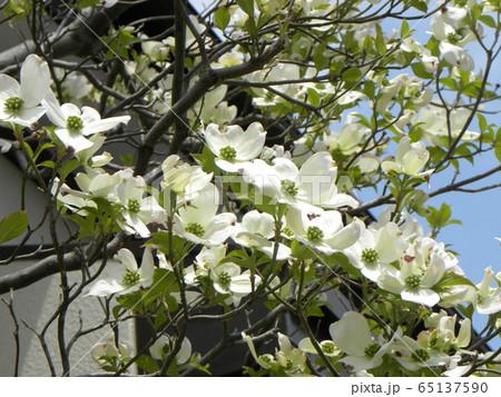 この白い花はミズキの花 65137590