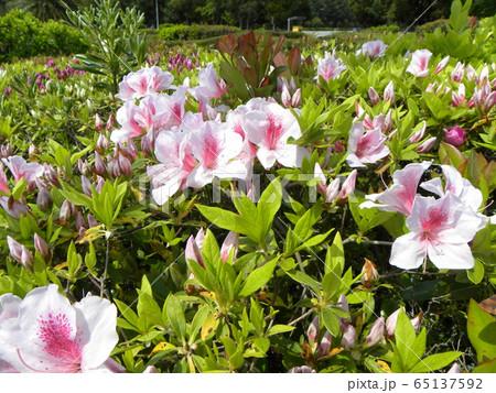 四月に咲くのはツツジの桃色の花 65137592