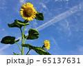花_ひまわり 65137631