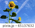 花_ひまわり 65137632