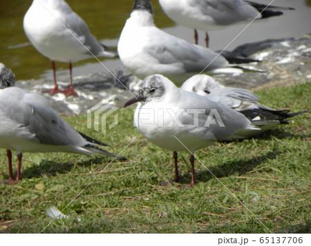 夏毛になってもう直ぐ北へ帰る稲毛海浜公園のユリカモメ 65137706