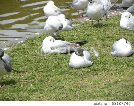 夏毛になってもう直ぐ北へ帰る稲毛海浜公園のユリカモメ 65137740
