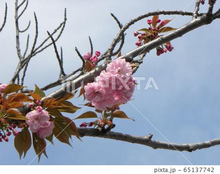 八重の桜は遅咲きのサクラ 65137742