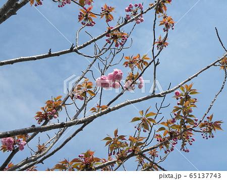 八重の桜は遅咲きのサクラ 65137743