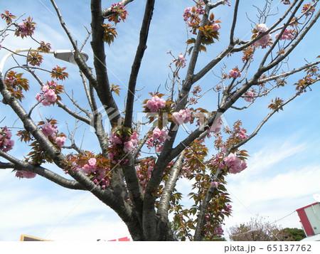 八重の桜は遅咲きのサクラ 65137762