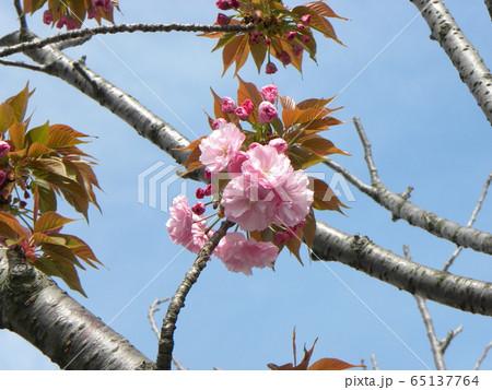 八重の桜は遅咲きのサクラ 65137764