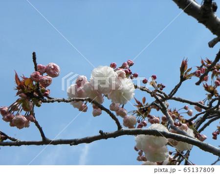 八重の桜は遅咲きのサクラ 65137809