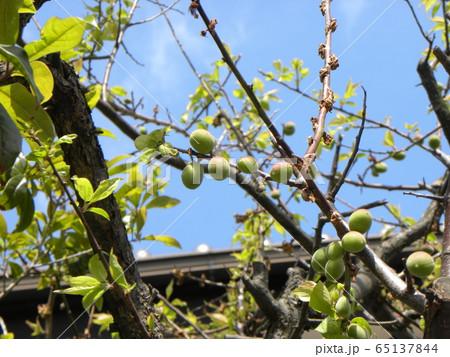 我が家の梅ノ木の梅の実 65137844