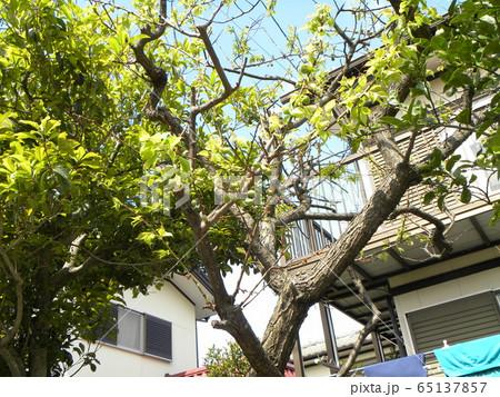 我が家の梅ノ木の梅の実 65137857