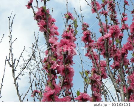 綺麗で豪華なハナモモの桃色の花 65138151