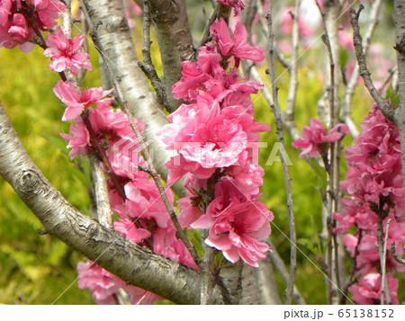 綺麗で豪華なハナモモの桃色の花 65138152