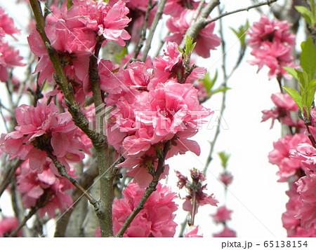 綺麗で豪華なハナモモの桃色の花 65138154