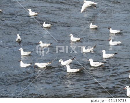 花見川河口のユリカモメ 65139733