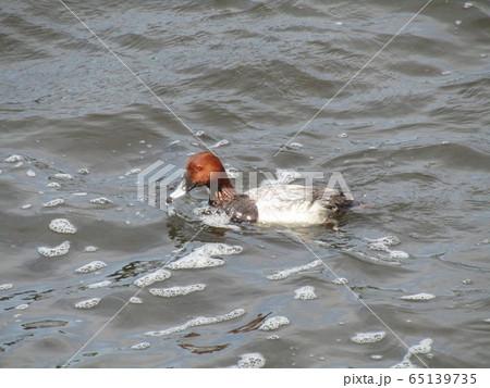 茶色の頭のカモは潜れるホシハジロ 65139735