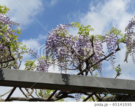 もう直ぐ満開の紫色のフジの花 65141030