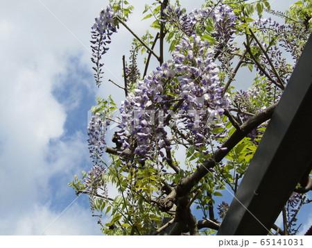 もう直ぐ満開の紫色のフジの花 65141031