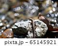 ニホンカナヘビ 65145921